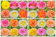 103H_Fotoladefense7_8_141120_Rose_pop1-impasto-detailed2234